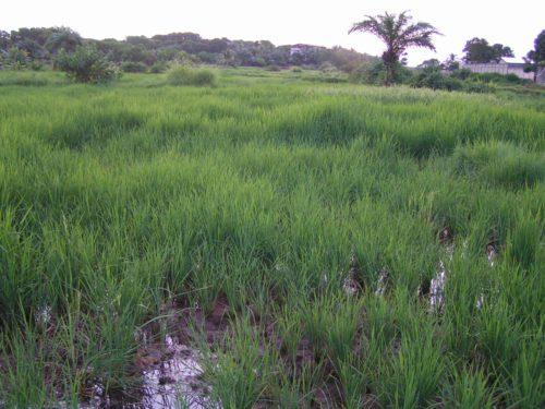 rice_fields